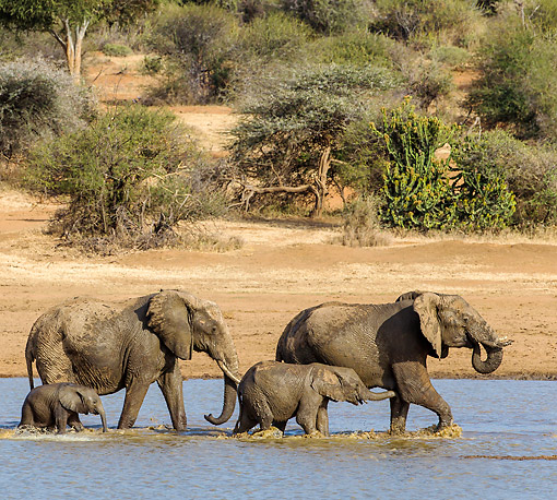 ELE 01 KH0062 01 © Kimball Stock African Elephant Herd Crossing Water