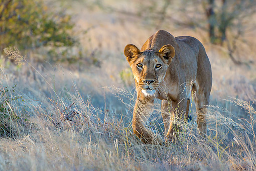 LNS 01 KH0008 01 © Kimball Stock Lioness Hunting In Kenya