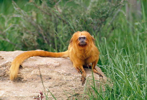 PRM 10 GL0011 01 © Kimball Stock Lion Tamarin Sitting On Rock By Tall Grass