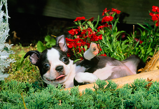 PUP 14 CE0065 02 © Kimball Stock Boston Terrier Puppy Laying In Shrub By Flowers And Baseball Bat Glove