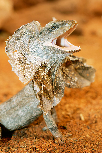 REP 02 AC0021 01 © Kimball Stock Portrait Of King's Lizard Displaying Threat On Sand
