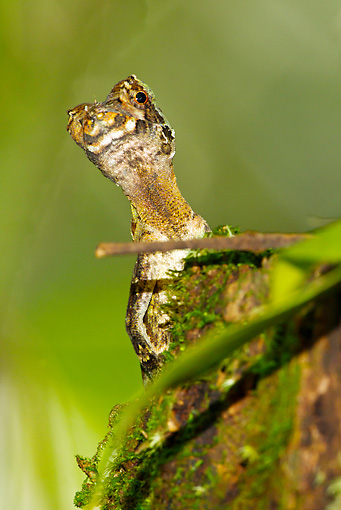REP 02 MC0006 01 © Kimball Stock Pug-Nosed Anole On Tree Stump Costa Rica