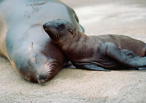 SEA 04 GR0001 01 © Kimball Stock California Sea Lion Mother And Baby Laying On Beach