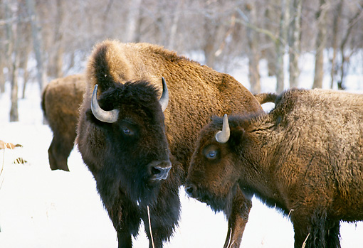 NOA 01 RK0002 02 © Kimball Stock Close Up Of Two Buffalos On Snow Trees Background