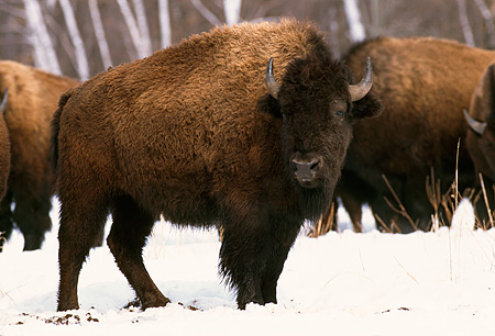 NOA 01 RK0007 01 © Kimball Stock Close-up Of One Buffalo Standing In Snow With Others Behind And Trees