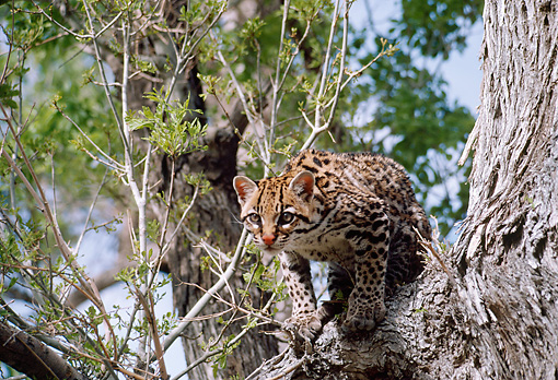 OCE 01 BA0001 01 © Kimball Stock Ocelot Climbing On Tree Branch