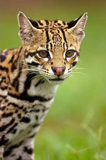OCE 01 MC0001 01 © Kimball Stock Portrait Of Ocelot Walking In Grass Southern Arizona