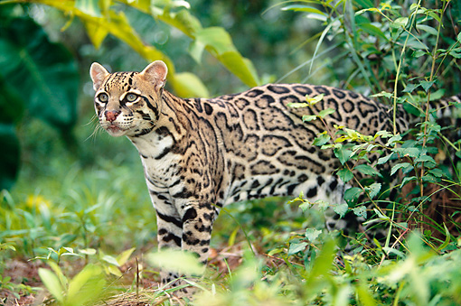 OCE 01 KH0001 01 © Kimball Stock Ocelot Standing In Jungle