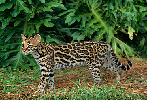 OCE 01 TK0001 01 © Kimball Stock Ocelot Walking By Foliage