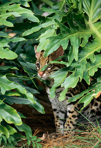 OCE 01 TK0002 01 © Kimball Stock Ocelot Sitting In Foliage