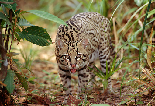 OCE 01 TL0001 03 © Kimball Stock Ocelot Approaching Camera On Jungle Floor In Central America