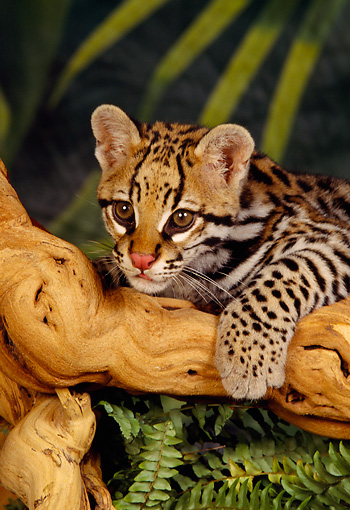 OCE 02 RK0012 01 © Kimball Stock Ocelot Cub Leaning On Branch One Paw On Branch Facing Camera Jungle Background