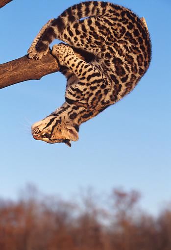 OCE 02 RK0030 02 © Kimball Stock Close Up Of Ocelot Cub Hanging Upside Down On Tree Branch Blue Sky And Trees