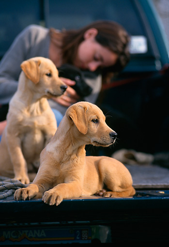 PEO 02 DB0006 01 © Kimball Stock Yellow And Black Labrador Retriever Puppies With Owner In Truck Bed