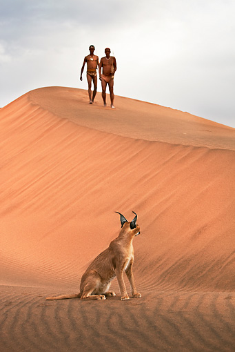 PEO 08 MH0009 01 © Kimball Stock Caracal Sitting On Dunes With San Hunters Walking In Background Namibia