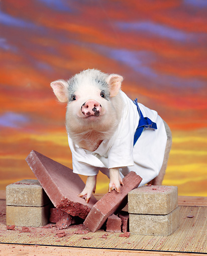 PIG 01 RK0011 07 © Kimball Stock Karate Pig On Bricks