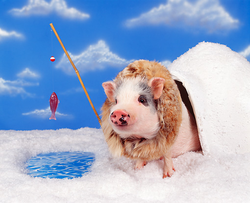 PIG 01 RK0013 16 © Kimball Stock Igloo Pig Fishing On Snow