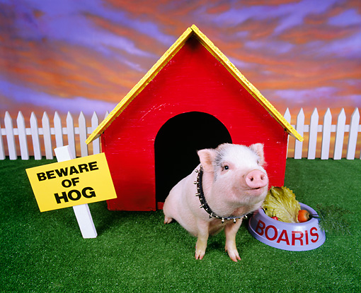PIG 01 RK0031 25 © Kimball Stock Pig in Dog House.