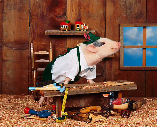 PIG 01 RK0046 20 © Kimball Stock Humorous Shot Of Pig Sitting On Wooden Work Bench