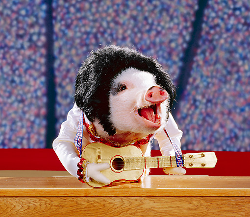 PIG 01 RK0056 15 © Kimball Stock Elvis Pigsley
