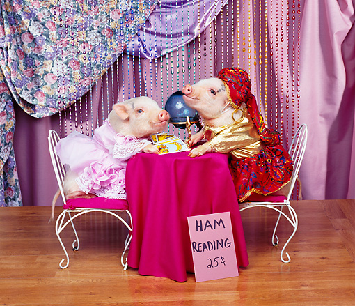PIG 01 RK0059 14 © Kimball Stock Ham Reading Pigs Sitting on Chairs By Crystal Ball