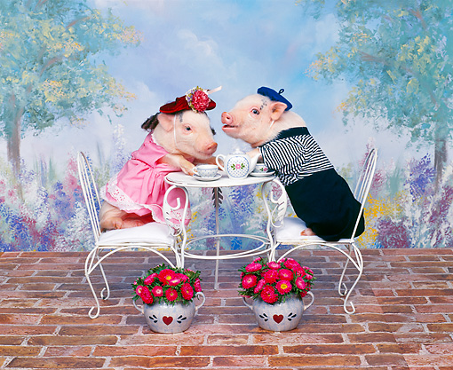 PIG 01 RK0060 08 © Kimball Stock Sows of France Two Pigs Drinking Tea At Table