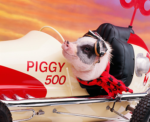 PIG 01 RK0093 05 © Kimball Stock Vietnamese Pot Bellied Pig In Car Driving