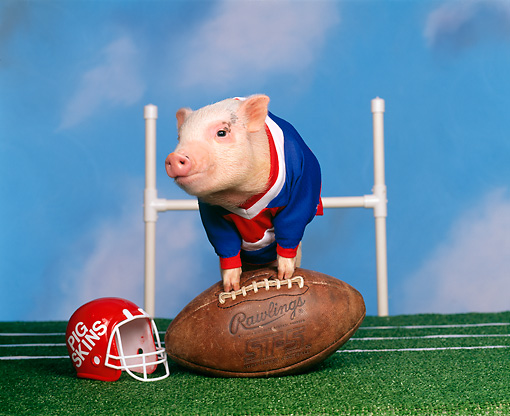 PIG 01 RK0111 16 © Kimball Stock Pigskin Football Pig Leaning On Football On Field