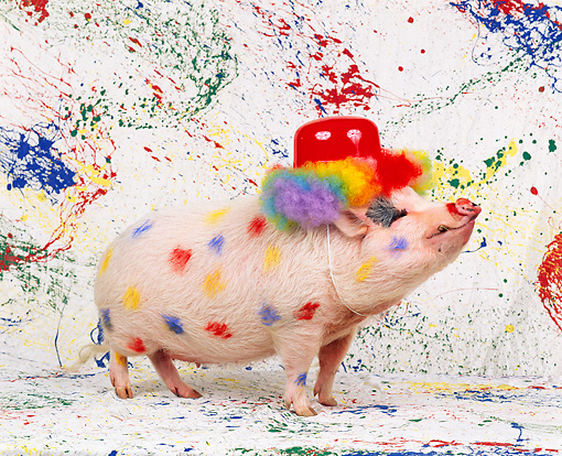 PIG 01 RK0156 11 © Kimball Stock Colorful Pig.