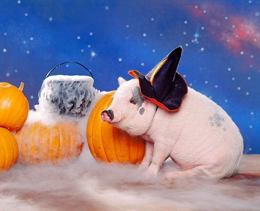 PIG 01 RK0163 20 © Kimball Stock Halloween Vietnamese Pot Bellied Pig.