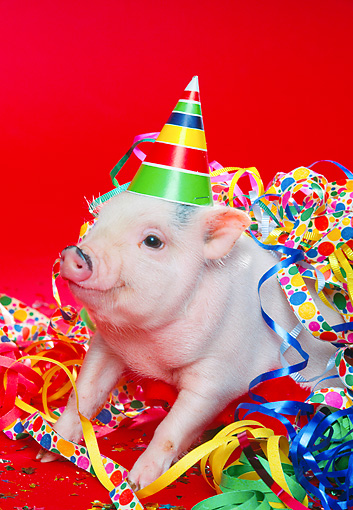 PIG 01 RK0175 02 © Kimball Stock Vietnamese Pot Bellied Pig Wearing Party Hat