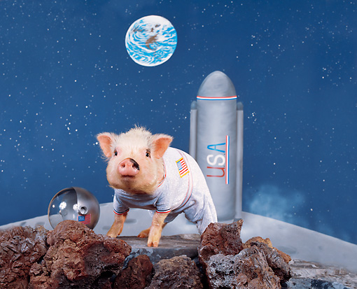 PIG 01 RK0191 15 © Kimball Stock First Pig on the Moon.