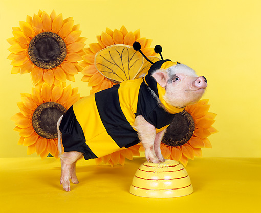 PIG 01 RK0195 17 © Kimball Stock Bumble Pig In Bee Outfit By Sunflowers Studio