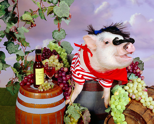 PIG 01 RK0236 05 © Kimball Stock Swine Maker Pig With Moustach In Barrel Of Grapes