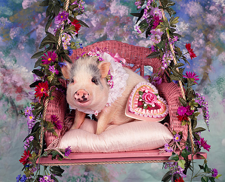 PIG 01 RK0005 01 © Kimball Stock Springtime Pig In Swing With Flowers Studio
