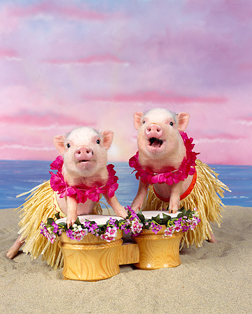 PIG 01 RK0007 11 © Kimball Stock Two Pigs In Hula Skirts Playing Drums On Beach
