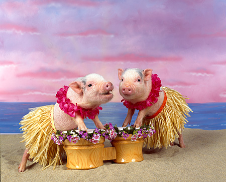 PIG 01 RK0007 13 © Kimball Stock Two Pigs In Hula Skirts Playing Drums On Beach