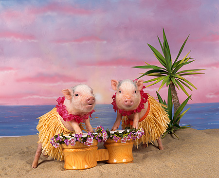 PIG 01 RK0007 21 © Kimball Stock Two Pigs In Hula Skirts Playing Drums On Beach