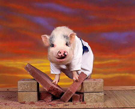 PIG 01 RK0011 21 © Kimball Stock Karate Pig On Bricks