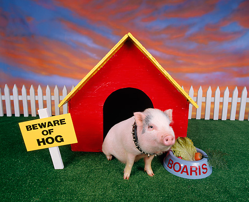 PIG 01 RK0031 26 © Kimball Stock Pig in Dog House.