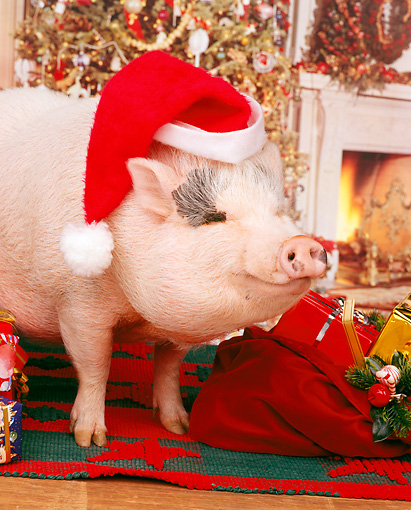 PIG 01 RK0048 10 © Kimball Stock Vietnamese Pot-Bellied Pig Wearing Santa Hat By Christmas Tree And Presents: Santa Hog