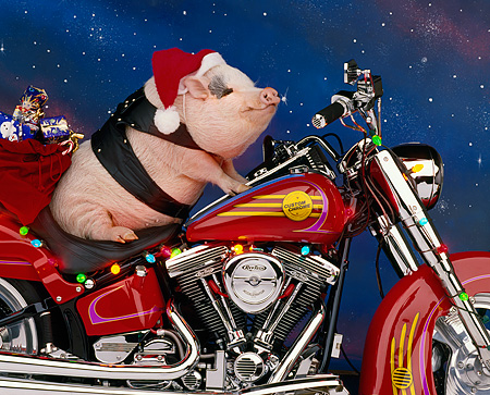 PIG 01 RK0049 09 © Kimball Stock Vietnamese Pot Bellied Pig On Motorcycle Wearing Santa Hat