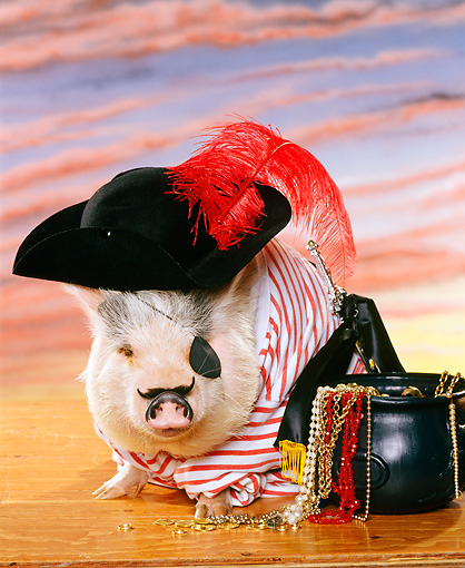 PIG 01 RK0053 11 © Kimball Stock Vietnamese Pot-Bellied Pirate Pig Sitting By Pot Of Jewels Sunset Background