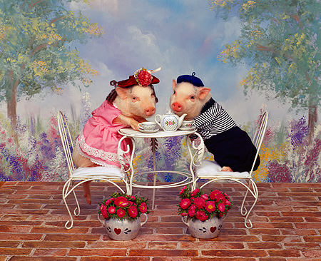 PIG 01 RK0060 10 © Kimball Stock Sows of France Two Pigs Drinking Tea At Table