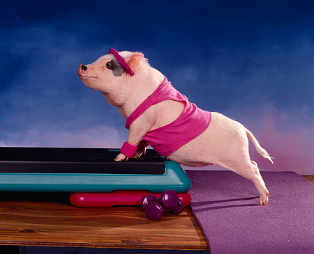 PIG 01 RK0072 04 © Kimball Stock Vietnamese Pot Bellied Aerobic Piggy Leaning On Step By Weights