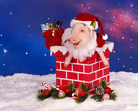 PIG 01 RK0085 14 © Kimball Stock Vietnamese Pot Bellied Pig In Santa Outfit In Chimney