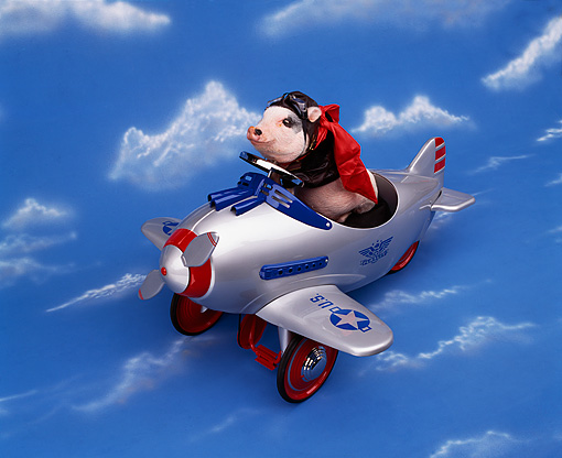 PIG 01 RK0086 28 © Kimball Stock Vietnamese Pot Bellied Pig In Airplane