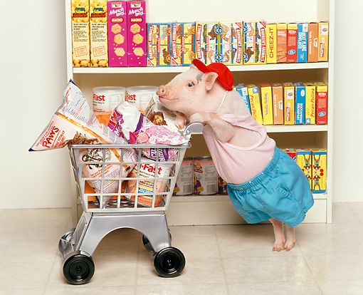 PIG 01 RK0089 09 © Kimball Stock Vietnamese Pot-Bellied Piggy Went To Market Pushing Shopping Cart With Food