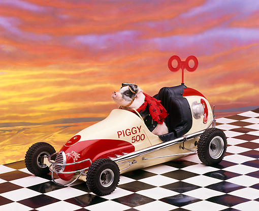 PIG 01 RK0096 07 © Kimball Stock Vietnamese Pot Bellied Pig Driving Car