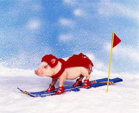 PIG 01 RK0101 11 © Kimball Stock Vietnamese Pot Bellied Pig Skiing On Snow